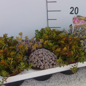 Sedum MIX (Experts in Green)