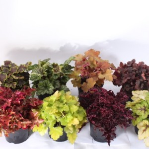 Heuchera MIX (Experts in Green)