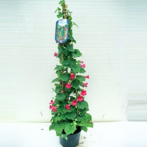 Lophospermum TWIN
