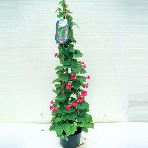 Lophospermum TWIN (Gebr. Seuren Rozenkwekerijen BV)