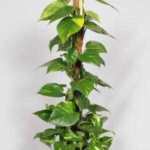 Epipremnum pinnatum (BK Plant)