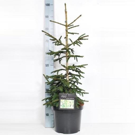 Picea orientalis 'Aureospicata' (Boomkamp Boomkwekerijen B.V.)