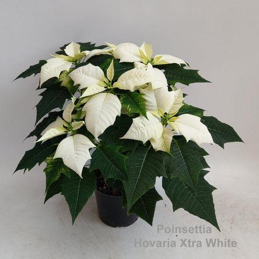 Euphorbia pulcherrima HOVARIA XTRA WHITE (Hofstede Hovaria)