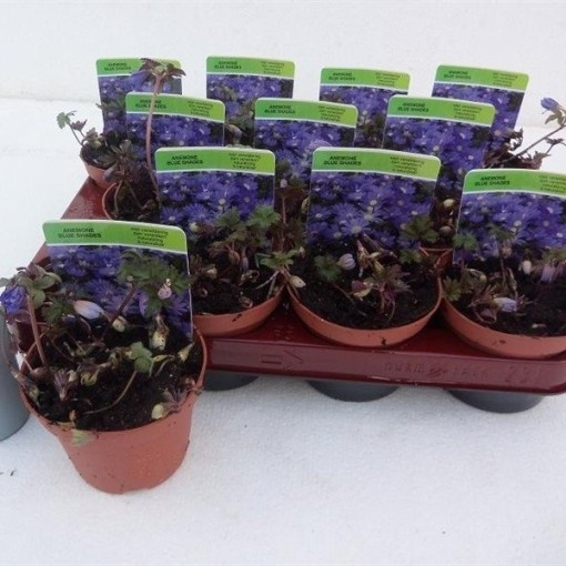 Anemone blanda 'Blue Shades' (Gebr. Straathof)