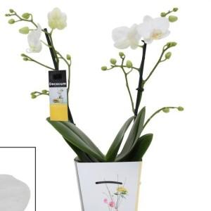 Phalaenopsis GUAN AMAH