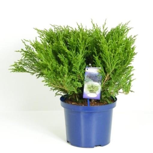 Juniperus horizontalis 'Andorra Compact' (Vredebest, Kwekerij)