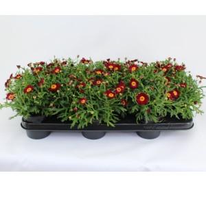 Argyranthemum frutescens LA RITA PURPLE RED