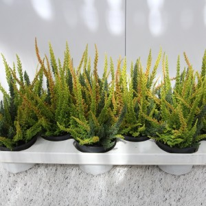 Calluna vulgaris SKYLINE MIX IN POT