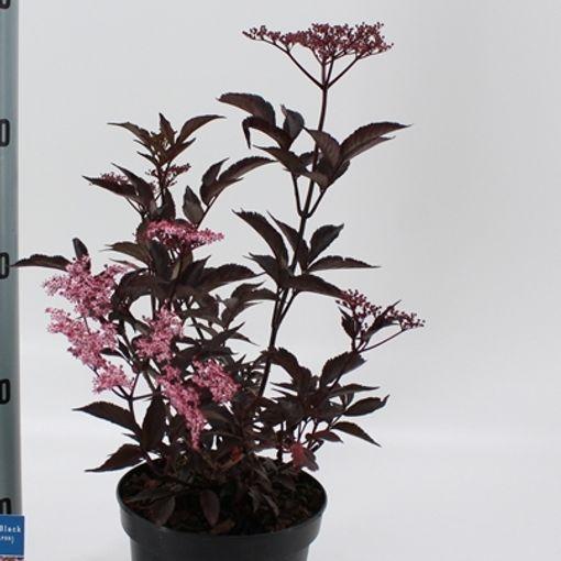 Sambucus nigra BLACK BEAUTY (About Plants Zundert BV)