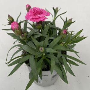 Dianthus OSCAR