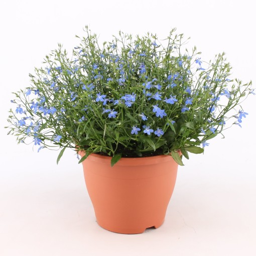 Lobelia erinus TECHNO HEAT UPRIGHT BLUE (Kwekerij Baas)