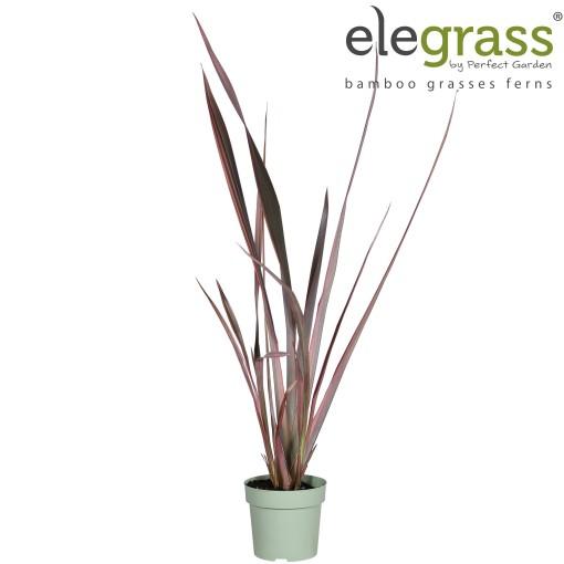 Phormium 'Evening Glow' (Hoogeveen Plants)