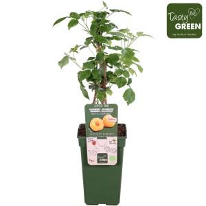 Rubus idaeus 'Autumn Amber'