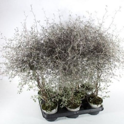 Corokia cotoneaster (Experts in Green)