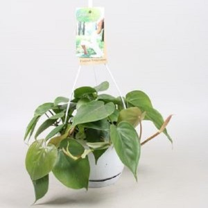 Philodendron scandens (Vireõ Plant Sales)