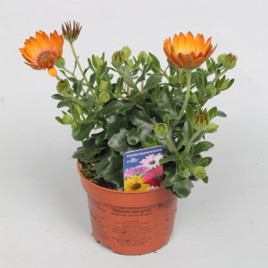 Osteospermum FLOWERPOWER ORANGE