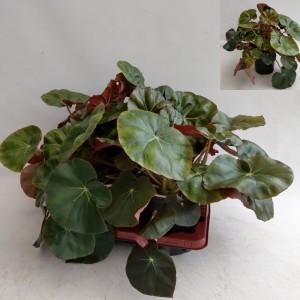 Begonia x erythrophylla
