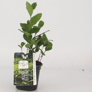 Camellia sinensis (Special Plant Zundert)
