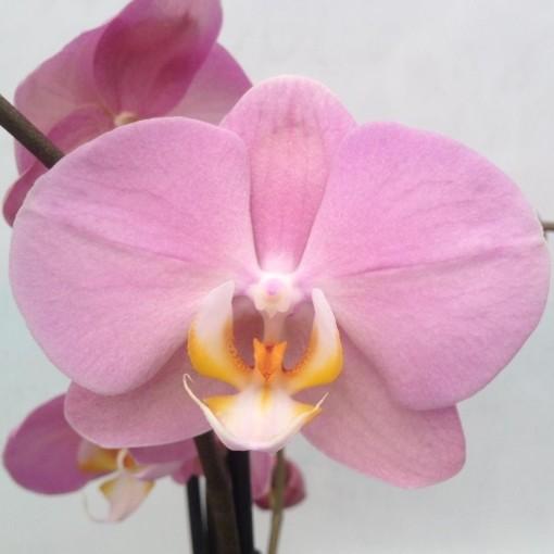 Phalaenopsis ANTHURA PADOVA (Leerdam Orchideeën)
