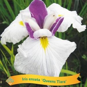 Iris ensata MIX (Gebr. Griffioen)
