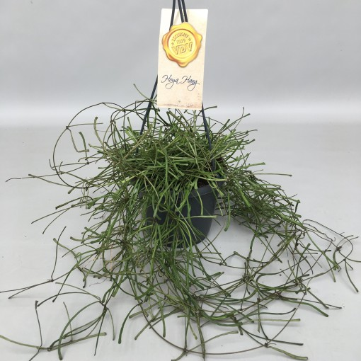 Hoya Retusa
