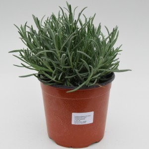 Lavandula angustifolia angustifolia (Green Collect Sales)