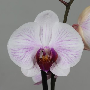 Phalaenopsis ANTHURA DENVER