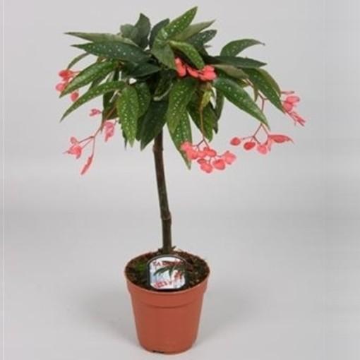 Begonia 'Tamaya' (Handelskwekerij van der Velden)