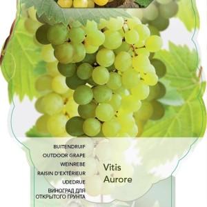 Vitis 'Aurore' (BOGREEN Outdoor Plants)