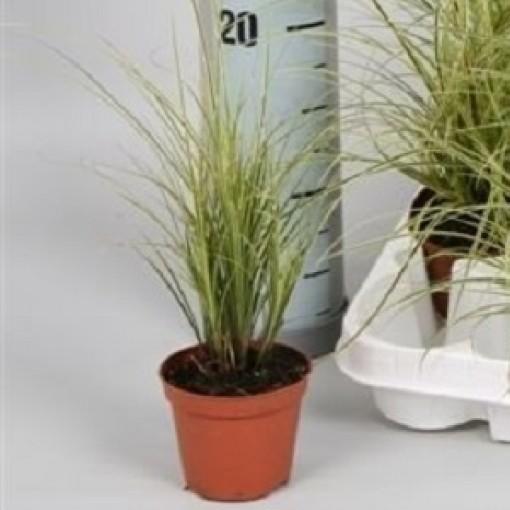 Carex brunnea 'Variegata' (Handelskwekerij van der Velden)