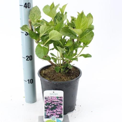 Hydrangea macrophylla 'Mariesii Perfecta' (About Plants Zundert BV)
