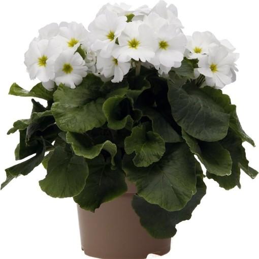 Primula obconica TOUCH ME WHITE (OK Plant)