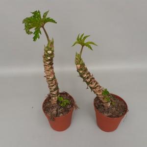 Begonia carolineifolia 'Highlander'