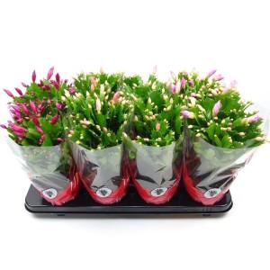 Schlumbergera MIX (J. de Vries Potplantencultures BV)