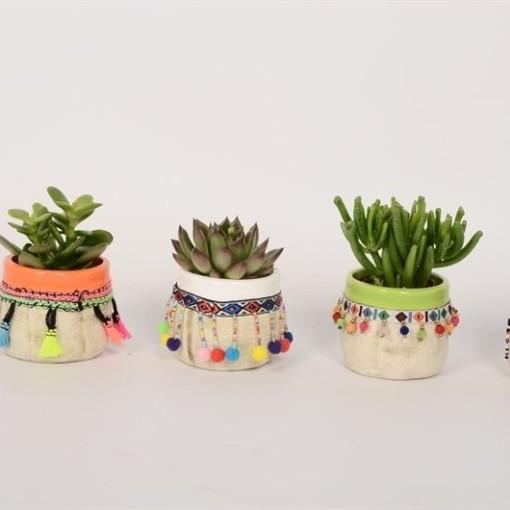Succulents MIX (Bunnik Plants)