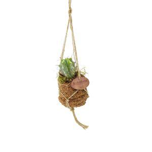 Cacti MIX (Kokodama)