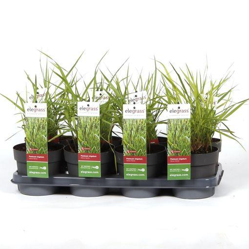 Panicum virgatum 'Hänse Herms' (Hoogeveen Plants)