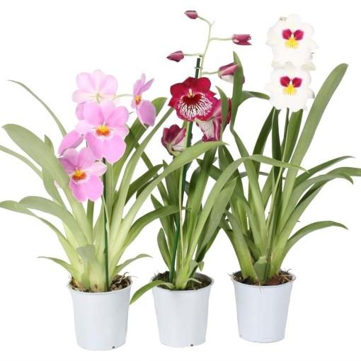 Miltonia MIX (Lansbergen Orchids)