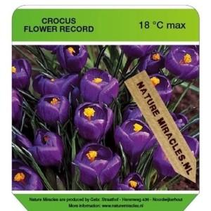 Crocus vernus 'Flower Record' (Gebr. Straathof)