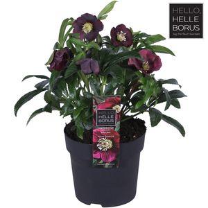 Helleborus orientalis 'Hello Red'