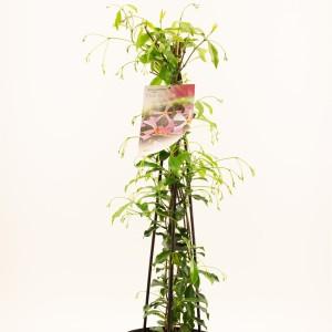 Trachelospermum jasminoides 'Pink Showers'
