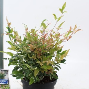 Nandina domestica 'Twilight' (About Plants Zundert BV)