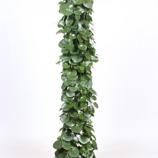 Cissus rotundifolia (Fachjan)