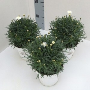 Argyranthemum frutescens MOLIMBA MINI WHITE DOUBLE
