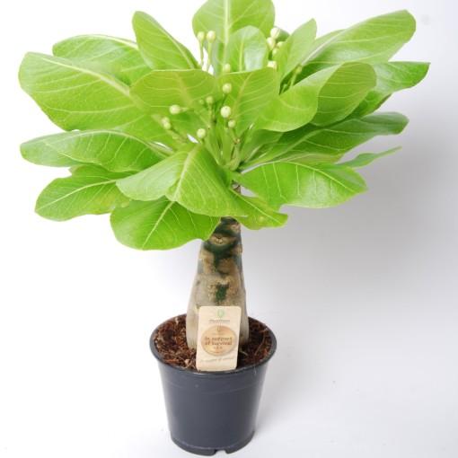 Brighamia insignis (Van der Arend Tropical Plantcenter)