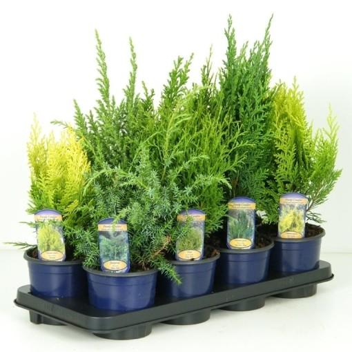 Conifers MIX (Vredebest, Kwekerij)
