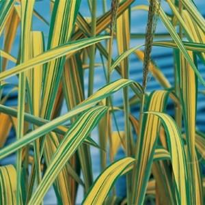 Phragmites australis 'Variegatus' (Moerings Waterplanten)