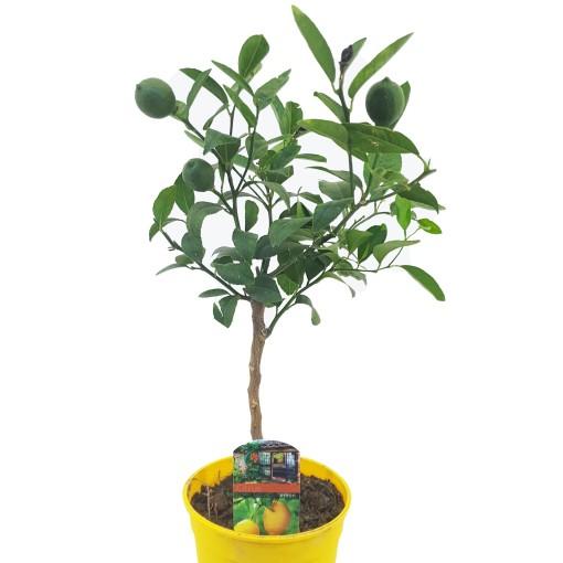 Citrus x limon (Luiten kwekerij)