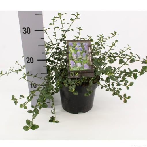 Ceanothus thyrsiflorus 'Repens' (Snepvangers Tuinplanten BV)