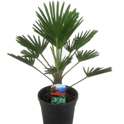 Trachycarpus wagnerianus (Luiten kwekerij)